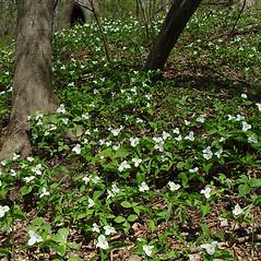 Plant form: Trillium grandiflorum. ~ By Arthur Haines. ~ Copyright © 2020. ~ arthurhaines[at]wildblue.net