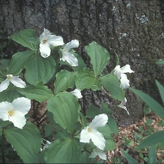 Plant form: Trillium grandiflorum. ~ By Dorothy Long. ~ Copyright © 2019 New England Wild Flower Society. ~ Image Request, images[at]newenglandwild.org