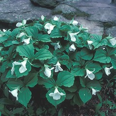 Leaves: Trillium grandiflorum. ~ By John Lynch. ~ Copyright © 2019 New England Wild Flower Society. ~ Image Request, images[at]newenglandwild.org