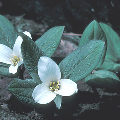 Plant form: Trillium nivale. ~ By Dorothy Long. ~ Copyright © 2017 New England Wild Flower Society. ~ Image Request, images[at]newenglandwild.org
