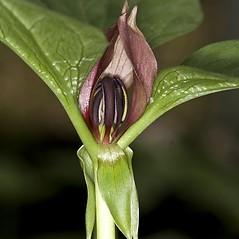 Inflorescences: Trillium recurvatum. ~ By John Gwaltney. ~ Copyright © 2019 John Gwaltney. ~ southeasternflora.com ~ Southeastern Flora - www.southeasternflora.com/