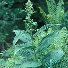 Plant form: Veratrum viride. ~ By Jean Baxter. ~ Copyright © 2019 New England Wild Flower Society. ~ Image Request, images[at]newenglandwild.org