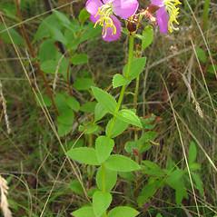 Plant form: Rhexia virginica. ~ By Glen Mittelhauser. ~ Copyright © 2019 Glen Mittelhauser. ~ www.mainenaturalhistory.org