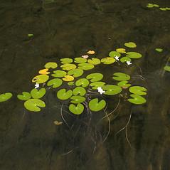 Plant form: Nymphoides cordata. ~ By Marilee Lovit. ~ Copyright © 2020 Marilee Lovit. ~ lovitm[at]gmail.com
