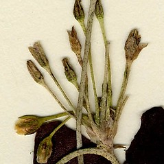 Inflorescences: Nymphoides cordata. ~ By CONN Herbarium. ~ Copyright © 2019 CONN Herbarium. ~ Requests for image use not currently accepted by copyright holder ~ U. of Connecticut Herbarium - bgbaseserver.eeb.uconn.edu/