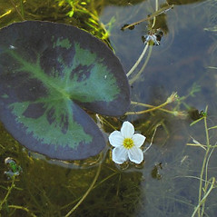Leaves: Nymphoides cordata. ~ By Alexey Zinovjev. ~ Copyright © 2018. ~ webmaster[at]salicicola.com ~ Salicicola - www.salicicola.com/