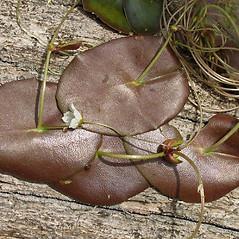 Leaves: Nymphoides cordata. ~ By Alexey Zinovjev. ~ Copyright © 2020. ~ webmaster[at]salicicola.com ~ Salicicola - www.salicicola.com/