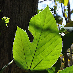 Leaves: Broussonetia papyrifera. ~ By David G. Smith. ~ Copyright © 2018. ~ dgsmith3[at]gmail.com ~ Delaware Wildflowers - delawarewildflowers.org/