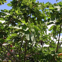 Plant form: Ficus carica. ~ By Forest & Kim Starr. ~ Copyright © 2020 CC BY-NC 3.0. ~  ~ Bugwood - www.bugwood.org/