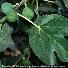 Leaves: Ficus carica. ~ By Joseph DiTomaso. ~ Copyright © 2020 CC BY-NC 3.0. ~  ~ Bugwood - www.bugwood.org/