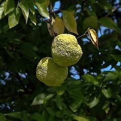 Fruits: Maclura pomifera. ~ By Paul S. Drobot. ~ Copyright © 2019 Paul S. Drobot. ~ www.plantstogrow.com, www.plantstockphotos.com ~ Robert W. Freckmann Herbarium, U. of Wisconsin-Stevens Point
