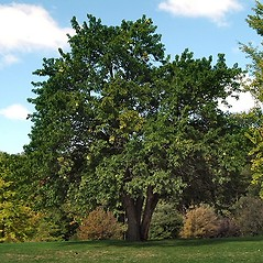 Plant form: Maclura pomifera. ~ By Paul S. Drobot. ~ Copyright © 2019 Paul S. Drobot. ~ www.plantstogrow.com, www.plantstockphotos.com ~ Robert W. Freckmann Herbarium, U. of Wisconsin-Stevens Point