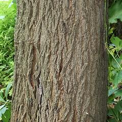 Bark: Morus alba. ~ By Arieh Tal. ~ Copyright © 2019 Arieh Tal. ~ http://botphoto.com/ ~ Arieh Tal - botphoto.com