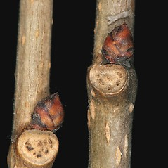Winter buds: Morus alba. ~ By Robert Vid_ki. ~ Copyright © 2020 CC BY-NC 3.0. ~  ~ Bugwood - www.bugwood.org/