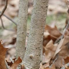 Bark: Morella caroliniensis. ~ By Arieh Tal. ~ Copyright © 2019 Arieh Tal. ~ http://botphoto.com/ ~ Arieh Tal - botphoto.com