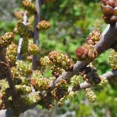 Flowers: Morella caroliniensis. ~ By Glen Mittelhauser. ~ Copyright © 2019 Glen Mittelhauser. ~ www.mainenaturalhistory.org