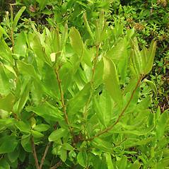 Plant form: Morella caroliniensis. ~ By Glen Mittelhauser. ~ Copyright © 2017 Glen Mittelhauser. ~ www.mainenaturalhistory.org