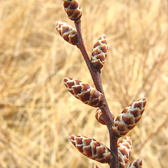 Winter buds: Myrica gale. ~ By Donna Kausen. ~ Copyright © 2020 Donna Kausen. ~ 33 Bears Den, Addison, ME 04606