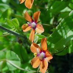 Flowers: Lysimachia arvensis. ~ By Glen Mittelhauser. ~ Copyright © 2018 Glen Mittelhauser. ~ www.mainenaturalhistory.org