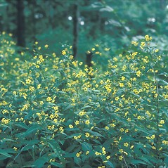 Plant form: Lysimachia ciliata. ~ By Jean Baxter. ~ Copyright © 2018 New England Wild Flower Society. ~ Image Request, images[at]newenglandwild.org