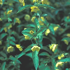 Plant form: Lysimachia ciliata. ~ By John Lynch. ~ Copyright © 2018 New England Wild Flower Society. ~ Image Request, images[at]newenglandwild.org