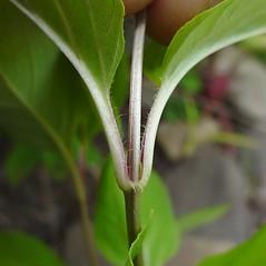 Stems: Lysimachia ciliata. ~ By Glen Mittelhauser. ~ Copyright © 2020 Glen Mittelhauser. ~ www.mainenaturalhistory.org