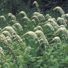 Plant form: Lysimachia clethroides. ~ By John Lynch. ~ Copyright © 2018 New England Wild Flower Society. ~ Image Request, images[at]newenglandwild.org