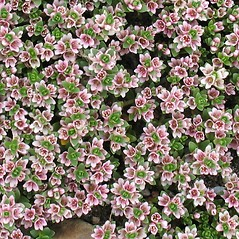 Plant form: Lysimachia maritima. ~ By Glen Mittelhauser. ~ Copyright © 2017 Glen Mittelhauser. ~ www.mainenaturalhistory.org