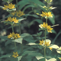 Flowers: Lysimachia punctata. ~ By John Lynch. ~ Copyright © 2019 New England Wild Flower Society. ~ Image Request, images[at]newenglandwild.org