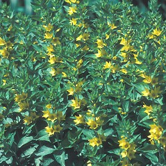 Plant form: Lysimachia punctata. ~ By John Lynch. ~ Copyright © 2019 New England Wild Flower Society. ~ Image Request, images[at]newenglandwild.org