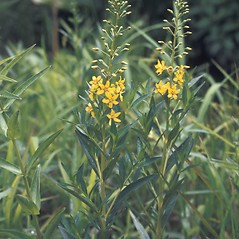 Plant form: Lysimachia terrestris. ~ By Catherine Heffron. ~ Copyright © 2019 New England Wild Flower Society. ~ Image Request, images[at]newenglandwild.org