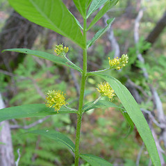 Flowers: Lysimachia thyrsiflora. ~ By Arthur Haines. ~ Copyright © 2020. ~ arthurhaines[at]wildblue.net