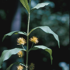 Plant form: Lysimachia thyrsiflora. ~ By Lawrence Newcomb. ~ Copyright © 2020 New England Wild Flower Society. ~ Image Request, images[at]newenglandwild.org