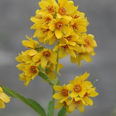 Flowers: Lysimachia vulgaris. ~ By Arieh Tal. ~ Copyright © 2017 Arieh Tal. ~ http://botphoto.com/ ~ Arieh Tal - botphoto.com