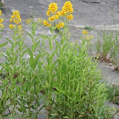 Plant form: Lysimachia vulgaris. ~ By Arieh Tal. ~ Copyright © 2018 Arieh Tal. ~ http://botphoto.com/ ~ Arieh Tal - botphoto.com