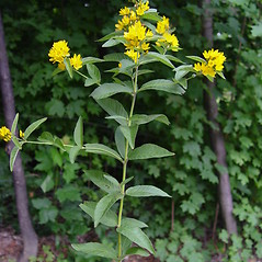 Plant form: Lysimachia vulgaris. ~ By Donald Cameron. ~ Copyright © 2020 Donald Cameron. ~ No permission needed for non-commercial uses, with proper credit