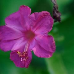 Flowers: Mirabilis jalapa. ~ By John Gwaltney. ~ Copyright © 2018 John Gwaltney. ~ southeasternflora.com ~ Southeastern Flora - www.southeasternflora.com/