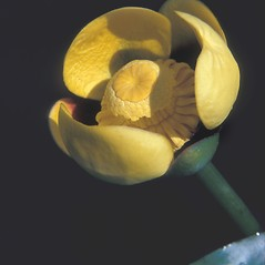 Flowers and fruits: Nuphar variegata. ~ By Jean Baxter. ~ Copyright © 2019 New England Wild Flower Society. ~ Image Request, images[at]newenglandwild.org