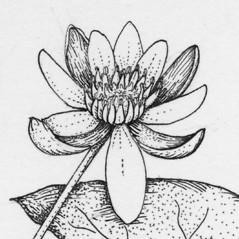 Inflorescences: Nymphaea leibergii. ~ By Tess Feltes. ~  Public Domain. ~  ~ U. of New Hampshire