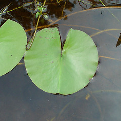 Leaves: Nymphaea tuberosa. ~ By Arthur Haines. ~ Copyright © 2019. ~ arthurhaines[at]wildblue.net