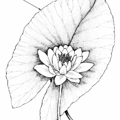Leaves: Nymphaea tuberosa. ~ By Southern Illinois University Press. ~ Copyright © 2020 Southern Illinois University Press. ~ Requests for image use not currently accepted by copyright holder ~ Mohlenbrock, Robert H. 1981. The Illustrated Flora of Illinois, Flowering Plants, magnolias to pitcher plants. Southern Illinois U. Press, Carbondale and Edwardsville, IL. 288pp.