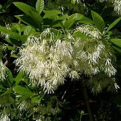 Flowers: Chionanthus virginicus. ~ By Paul S. Drobot. ~ Copyright © 2017 Paul S. Drobot. ~ www.plantstogrow.com, www.plantstockphotos.com ~ Robert W. Freckmann Herbarium, U. of Wisconsin-Stevens Point
