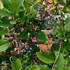 Fruits: Chionanthus virginicus. ~ By Paul S. Drobot. ~ Copyright © 2017 Paul S. Drobot. ~ www.plantstogrow.com, www.plantstockphotos.com ~ Robert W. Freckmann Herbarium, U. of Wisconsin-Stevens Point