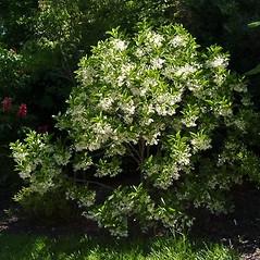 Plant form: Chionanthus virginicus. ~ By Paul S. Drobot. ~ Copyright © 2017 Paul S. Drobot. ~ www.plantstogrow.com, www.plantstockphotos.com ~ Robert W. Freckmann Herbarium, U. of Wisconsin-Stevens Point