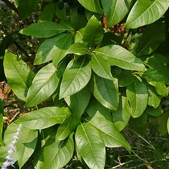 Leaves: Chionanthus virginicus. ~ By Paul S. Drobot. ~ Copyright © 2017 Paul S. Drobot. ~ www.plantstogrow.com, www.plantstockphotos.com ~ Robert W. Freckmann Herbarium, U. of Wisconsin-Stevens Point