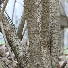 Bark: Forsythia suspensa. ~ By Arieh Tal. ~ Copyright © 2020 Arieh Tal. ~ http://botphoto.com/ ~ Arieh Tal - botphoto.com