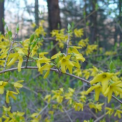 Flowers: Forsythia suspensa. ~ By Arthur Haines. ~ Copyright © 2019. ~ arthurhaines[at]wildblue.net