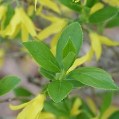 Leaves: Forsythia suspensa. ~ By Arieh Tal. ~ Copyright © 2020 Arieh Tal. ~ http://botphoto.com/ ~ Arieh Tal - botphoto.com