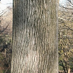 Bark: Fraxinus americana. ~ By Arieh Tal. ~ Copyright © 2019 Arieh Tal. ~ http://botphoto.com/ ~ Arieh Tal - botphoto.com