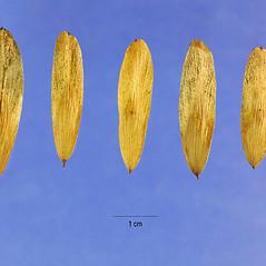 Fruits: Fraxinus nigra. ~ By Steve Hurst. ~  Public Domain. ~  ~ USDA-NRCS Plants Database - plants.usda.gov/java/